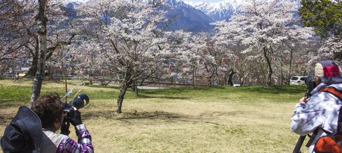 信州・大北地域の桜|お花見スポット